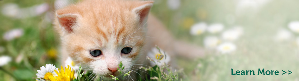 General-Image---Orange-Kitten-in-Field-Right1